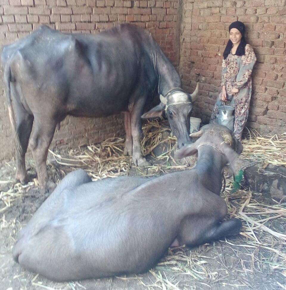 エジプト水牛