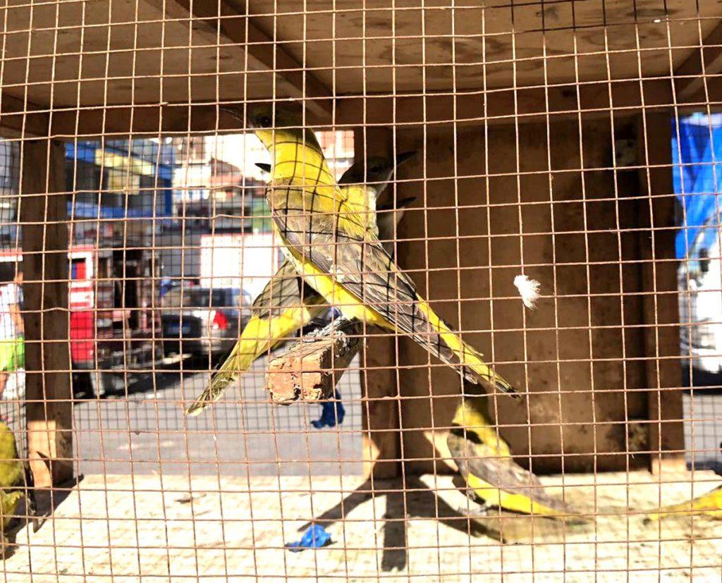 エジプト 黄色い鳥