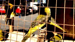 ニシコウライウグイス(Eurasian Golden Oriole)
